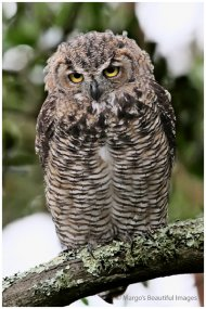 Great-horned Owl Young