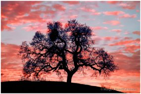 Fall - Oak Tree in the Sunset